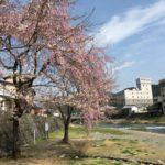 郡上八幡の桜は満開間近