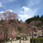 郡上八幡城の桜も見頃となりました