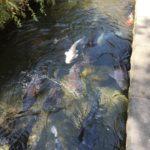 郡上八幡「いがわのこみち」~衝撃的・手から直接餌を食べる巨鯉~