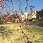 郡上八幡の桜、開花間近です!