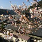 桜の開花が始まりました! in 郡上八幡