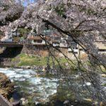満開間近、郡上八幡の桜の見所7選