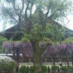 郡上八幡は藤の花が見頃です!