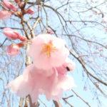 郡上八幡桜の開花状況と4月のイベント情報