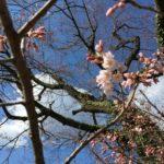 城山公園の桜も開花しました!