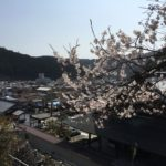 満開間近、来週迄桜が楽しめそうです!