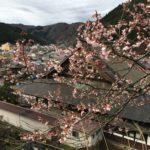 郡上八幡 桜の開花状況第2弾
