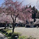 郡上八幡城の桜も満開です